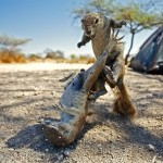 cape-squirrels-namibia